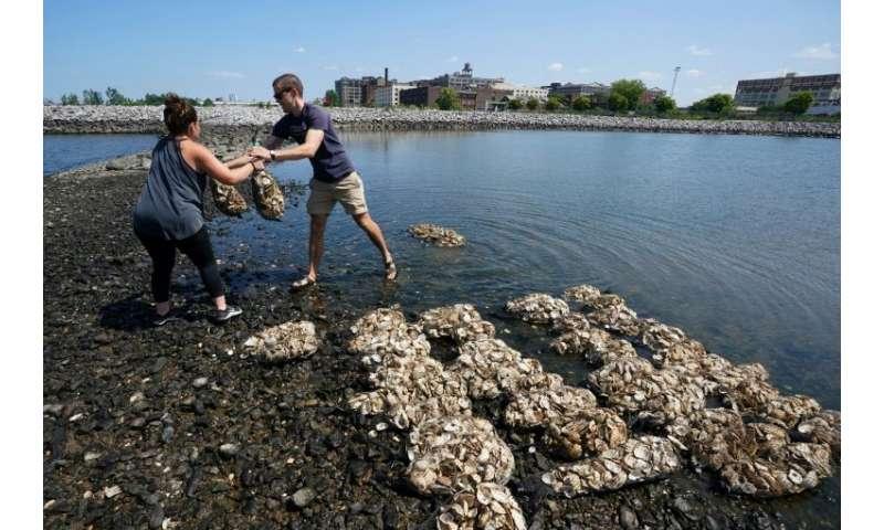 Volunteers hoist sacks of oyster shells to rebuild reefs of crustaceans in New York harbor that biologists hope will filter wate