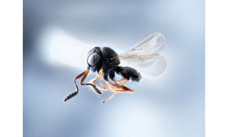 Wasp warriors—entomologists on samurai mission to slay stink bugs