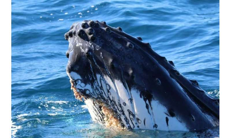 Whale experts call for rethink of global shipping routes to stop marine giants becoming 'roadkill'