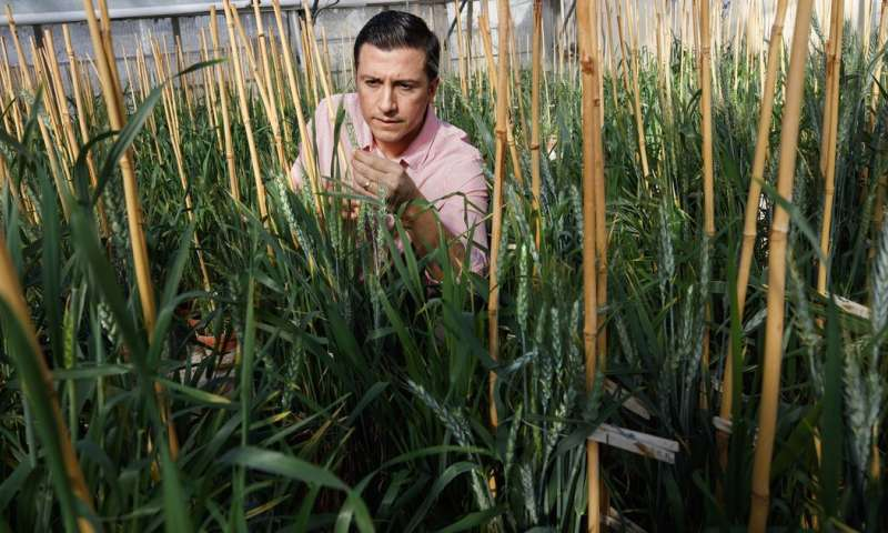 Wheat that pumps iron, naturally