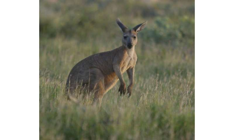 While known for their jumping prowess, most kangaroos are also capable swimmers although they rarely take to the water