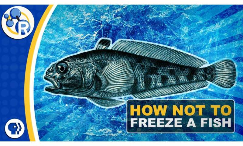 Why Antarctic fish don't freeze to death (video)