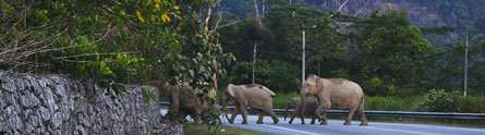 Why did the elephant cross the road? In Malaysia, they are trying to find the answer