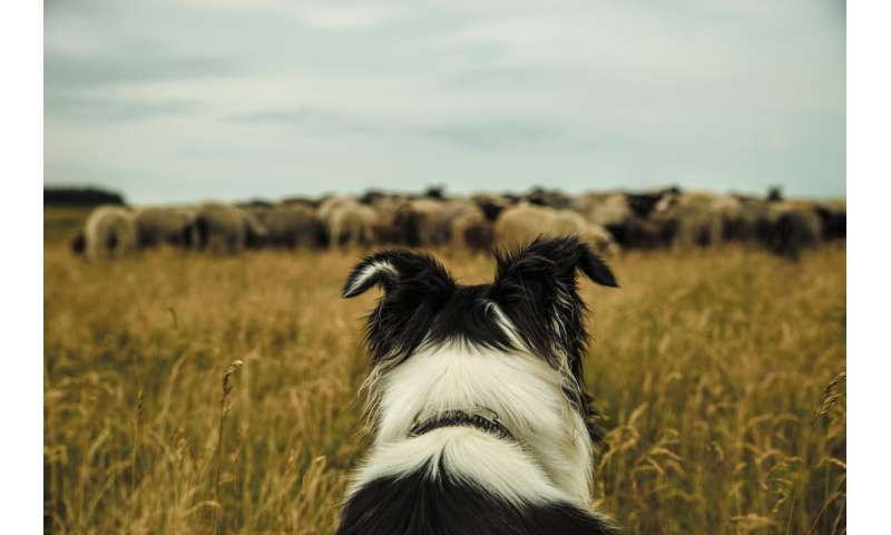 Why we programmed a robot to act like a sheepdog