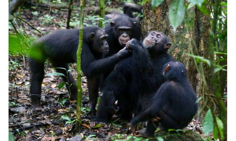 Wild chimpanzees share food with their friends