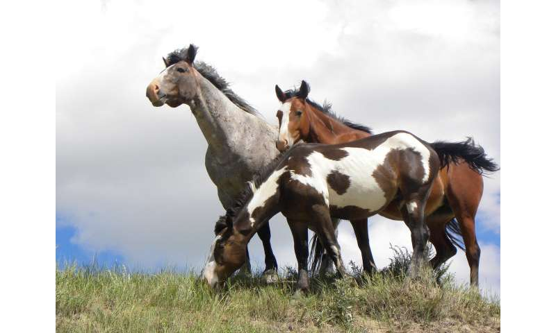 Wild horses in Theodore Roosevelt National Park have mixed ancestry