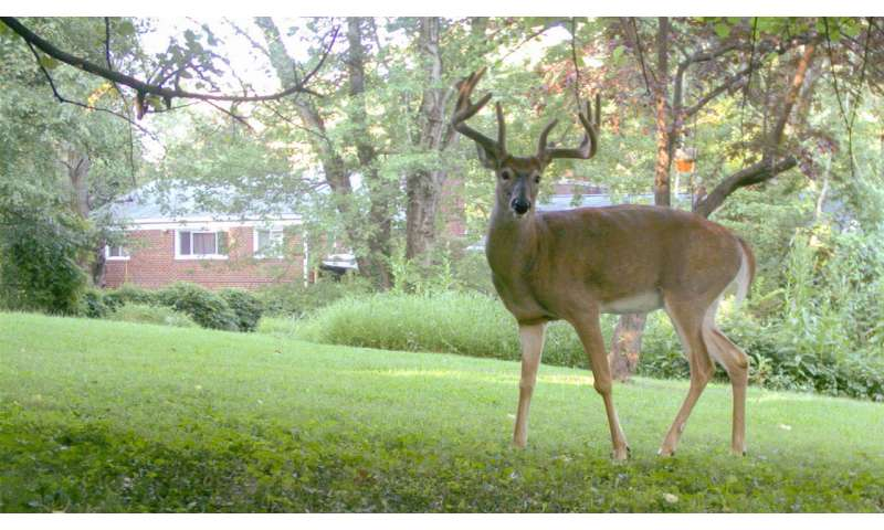 Wild suburbia—more mammals than expected live near people