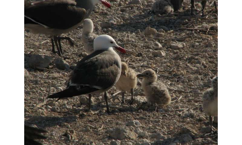Will warm-water events in the Gulf of California reduce seabird populations?