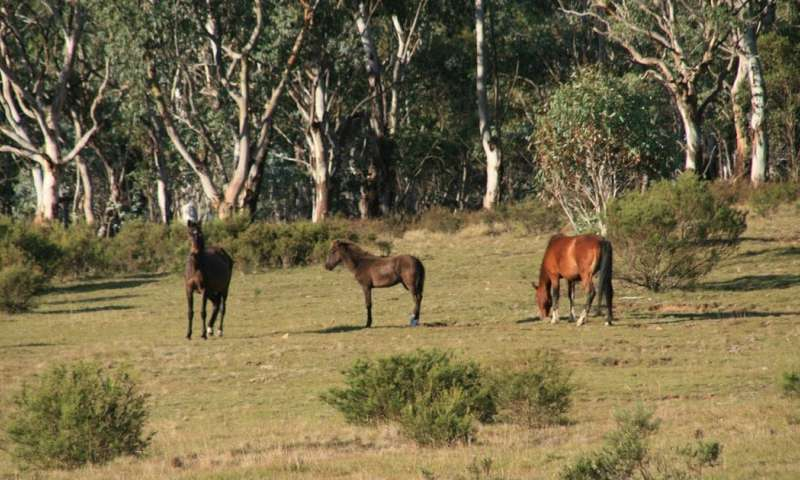 Without culling, Victoria's feral horse plan looks set to fail