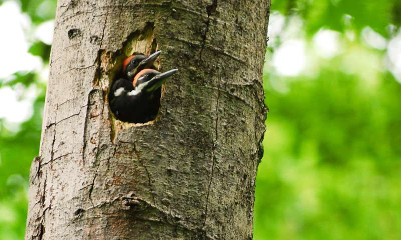 Woodpeckers And Development Coexist In Seattle