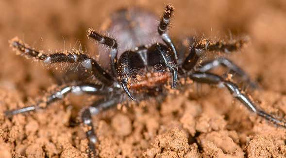 World's most venomous spiders are actually cousins