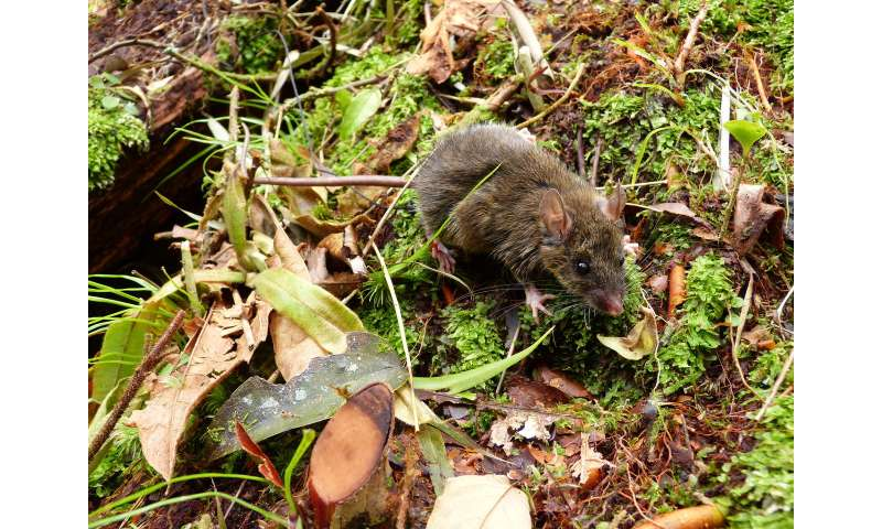 Worm-eating mice reveal how evolution works on islands