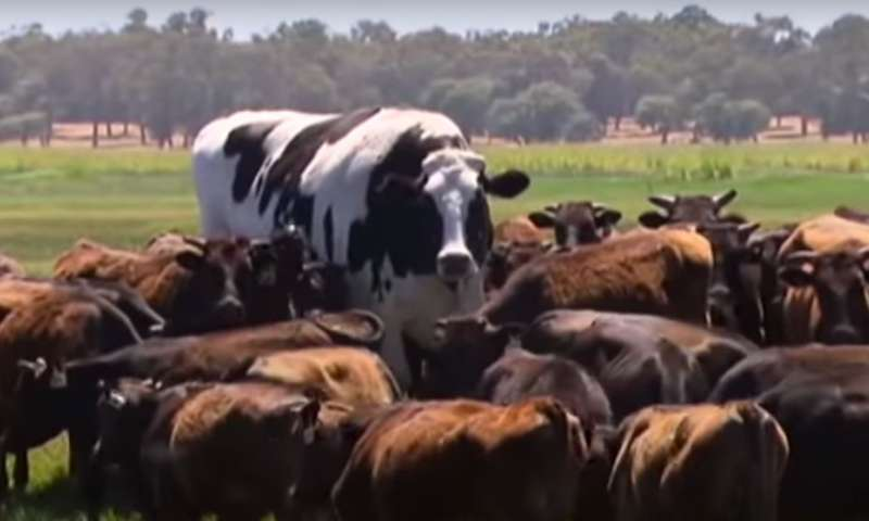 Yes, Knickers the steer is really, really big. But he's far short of true genetic freak status