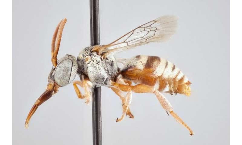York U researcher identifies 15 new species of stealthy cuckoo bees