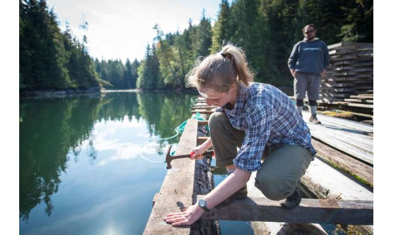Young salmon may leap to 'oust the louse'