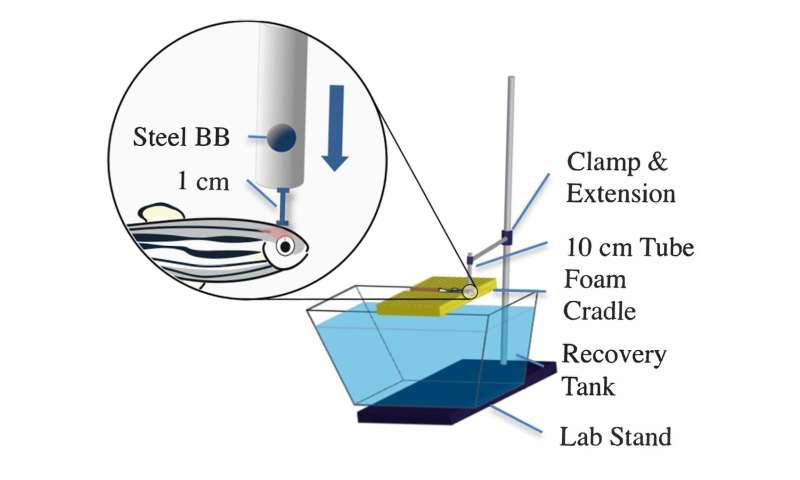 Zebrafish brain repair following concussion