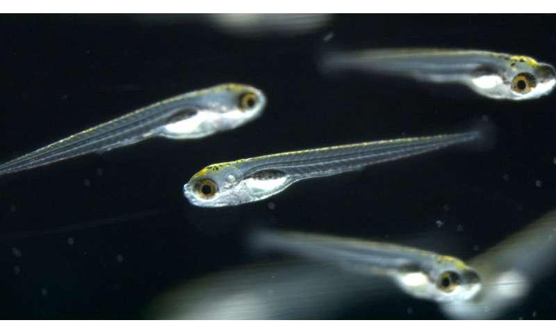 Zebrafish larvae help in search for appetite suppressants