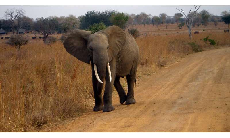 Zombie gene protects against cancer -- in elephants