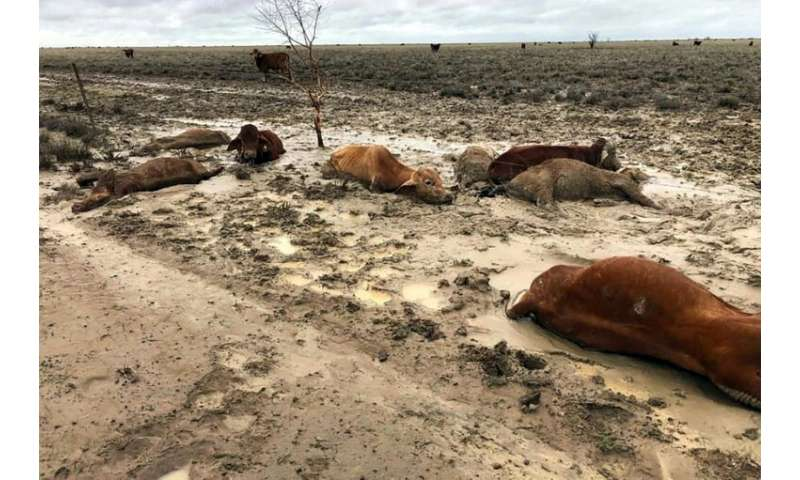 About half of Australia's 25-million strong cattle herd is bred in Queensland state, and graziers say the floods could devastate