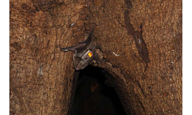 After release into wild, vampire bats keep 'friends' made in captivity