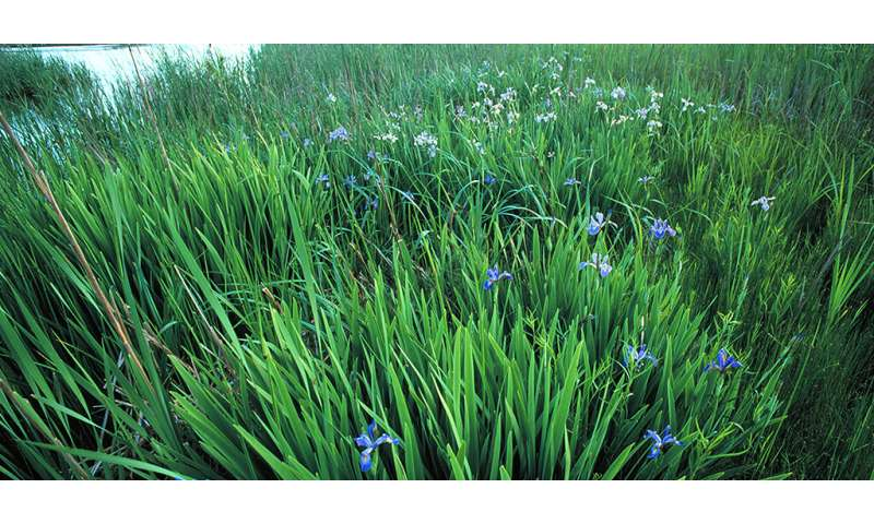 Aggressive, non-native wetland plants squelch species richness more than dominant natives do