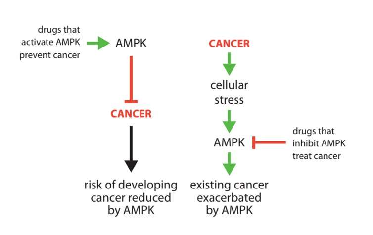 AMPK: new research into cancer's 'good cop/bad cop' protein could help develop more effective drugs