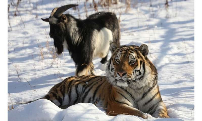 -Amur, a Siberian tiger, shared an enclosure at the Primorye Safari Park with a goat named Timur who died this week