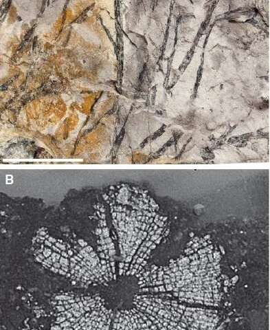 Analyzing the world's oldest woody plant fossil
