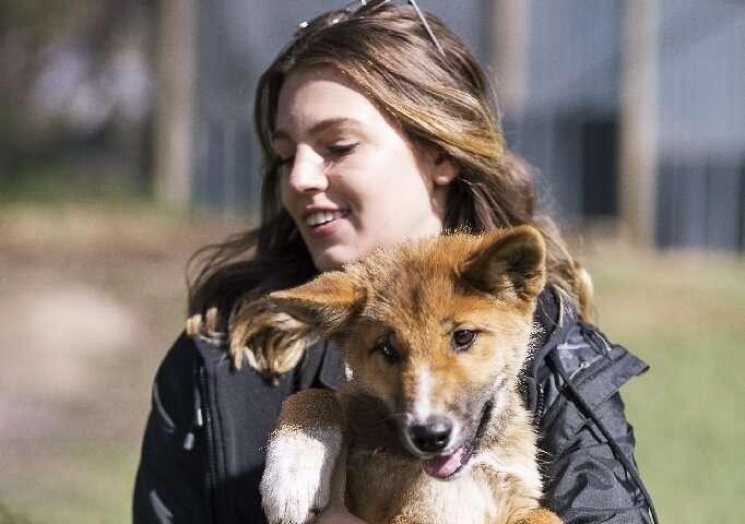 An Australian Dingo Foundation handler shows of Wandi, a rare 100 percent purebred dingo