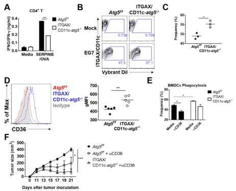 Autophagy in dendritic cells helps anticancer activity