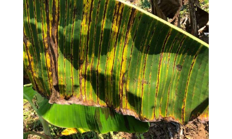 Banana disease boosted by climate change