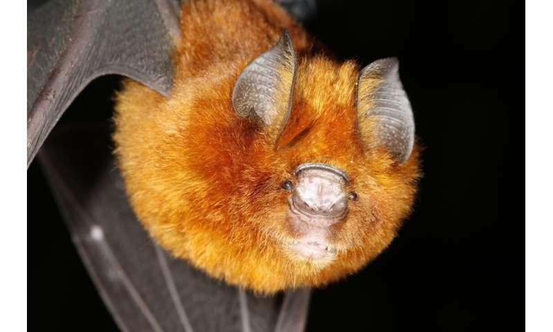 Bats don't rely on gut bacteria the way humans do