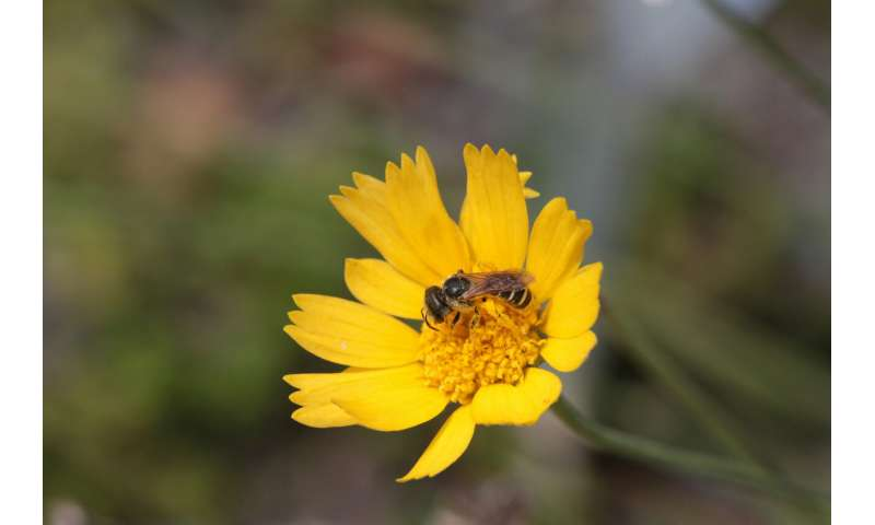 Bee dispersal ability may influence conservation measures