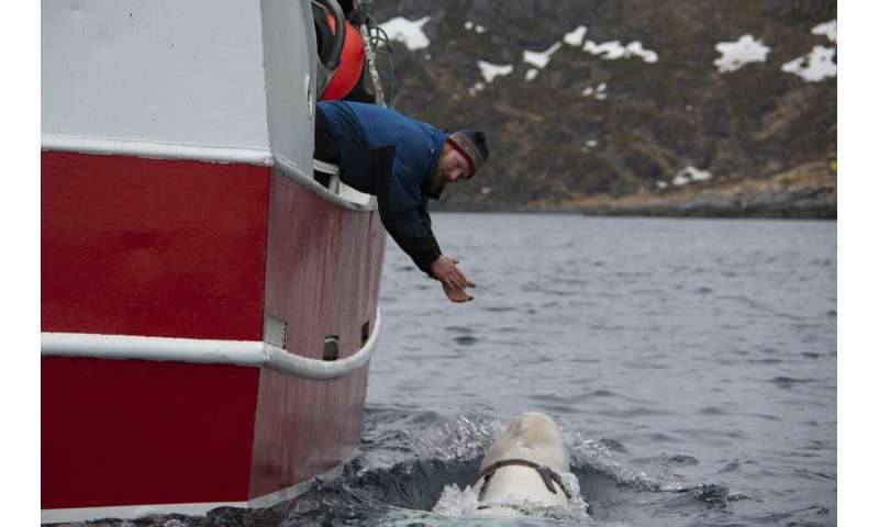 Beluga whale with Russian harness raises alarm in Norway