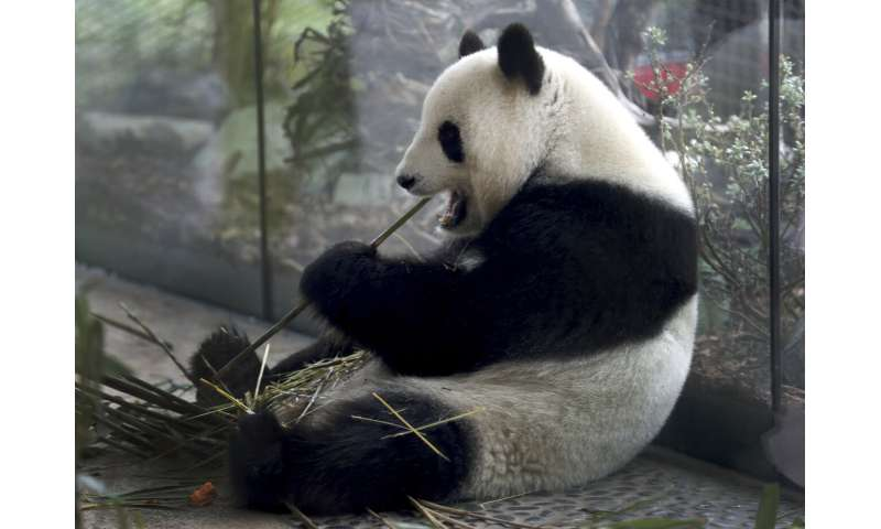 Berlin expects: Zoo's panda pregnant, birth expected soon