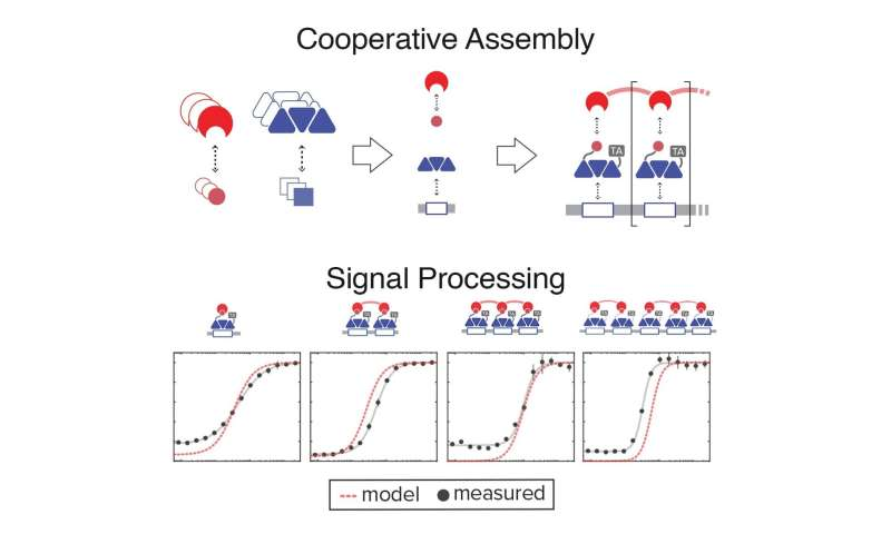 Bioengineers add cooperative molecules to their toolkit for programming signal processing