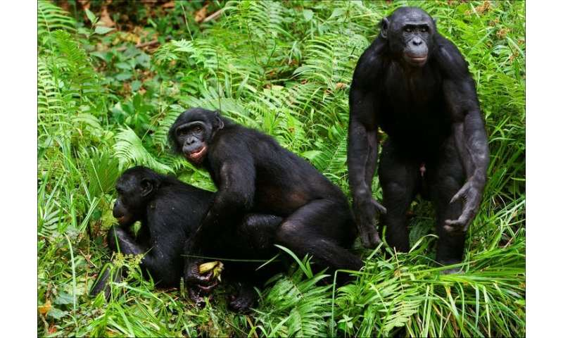 Bonobo mothers meddle in their sons' sex lives, making them three times more likely to father children