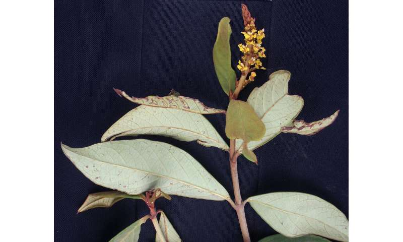 Brazil-endemic plant genus Mcvaughia highlights diversity in a unique biome