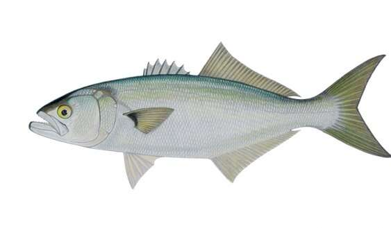Call to consider raising minimum legal length of bluefish in NSW