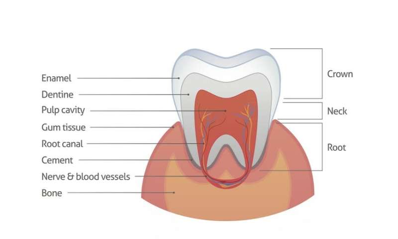 Can we heal teeth? The quest to repair tooth enamel, nature's crystal coat