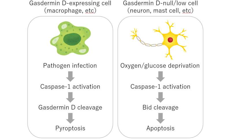 Caspase-1 initiates apoptosis, but not pyroptosis, in the absence of gasdermin D