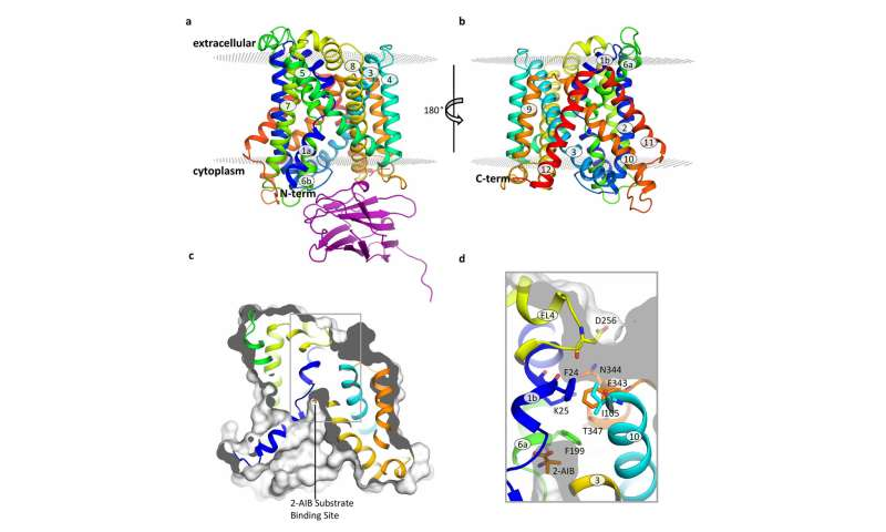 Characterisation of the structure of a member of the L-Amino acid Transporter (LAT) family
