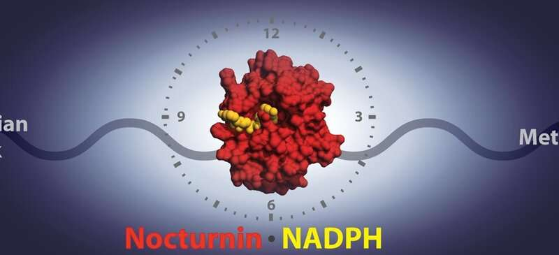 Circadian clock and fat metabolism linked through newly discovered mechanism