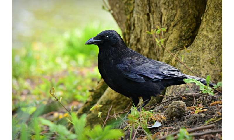 After using tools, crows behave more optimistically, study suggests