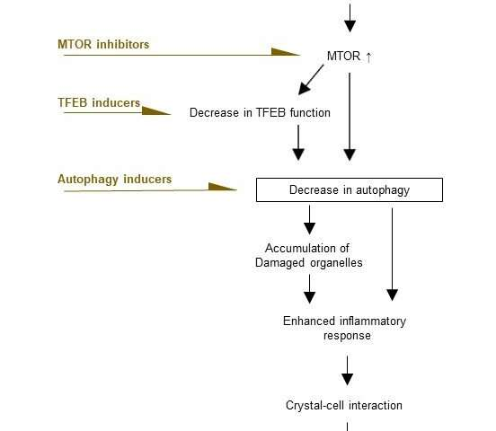 Deregulated mTOR is responsible for autophagy defects exacerbating kidney stone formation