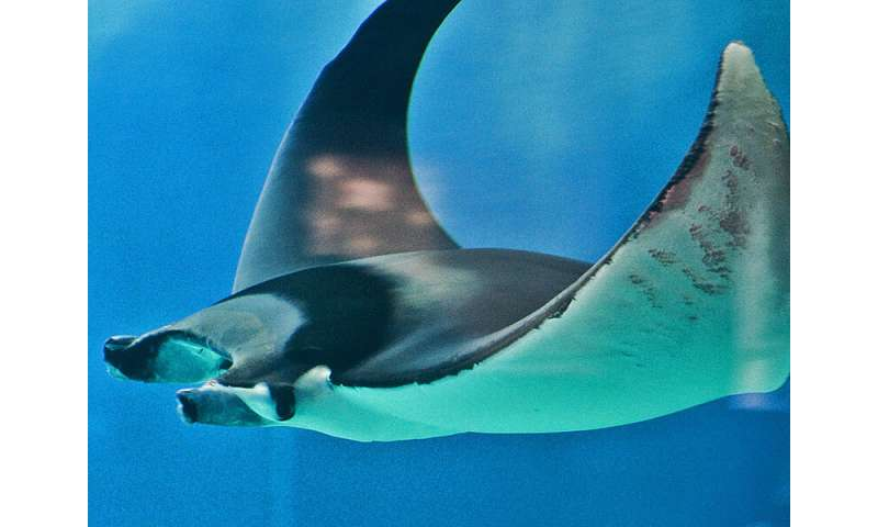 Devil rays may have unknown birthing zone