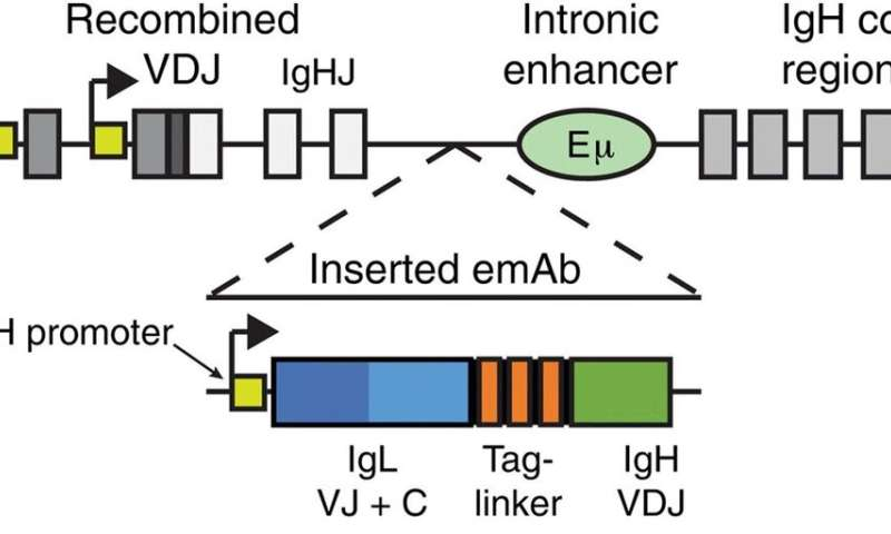 Engineering B cells to express pathogen-specific antibodies to protect against infection