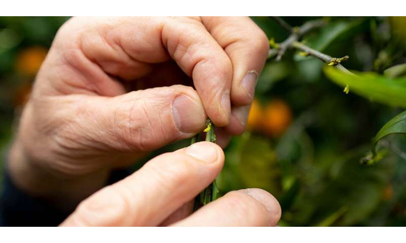 Farmers, researchers try to hold off deadly citrus greening long enough to find cure