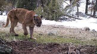 Fearing cougars more than wolves, Yellowstone elk manage threats from both predators
