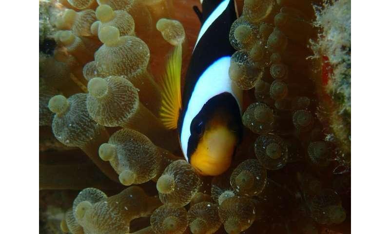 Finding 'Nemo's' family tree of anemones